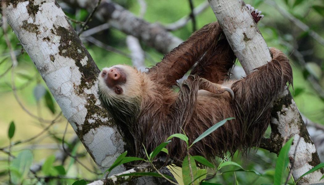 choloepus hoffmanni, perezosos, perezoso de dos uñas, dos dedos, Colombia, biodiversidad, fauna, animales de colombia